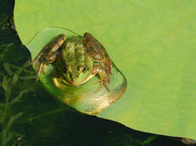 Frog on a lotus leaf. A green frog on a lotus leaf Stock Photos