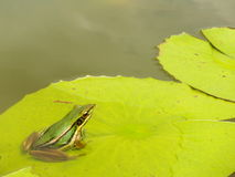 Frog on lotus leaf. In natur royalty free stock photography