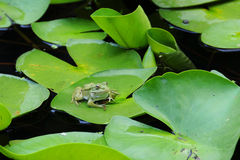 Frog on the Lotus Leaf Stock Photo