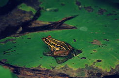 A frog on a lotus leaf. Still-life Royalty Free Stock Image