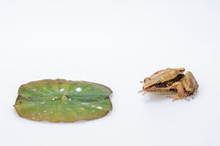 Frog and lotus leaf Stock Photo