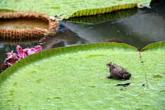 Frog on lotus left Stock Images