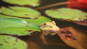 Frog in lotus pond Stock Photo