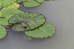 Frog. Lotus in water pond Stock Images
