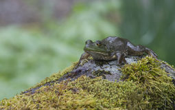 Frog lying on a mossy rock. Royalty Free Stock Photo