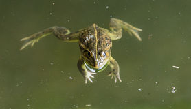 Frog lying on water surface Royalty Free Stock Photos