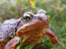 Frog macro. Common frog in unusual peaty brown colour - nice and sharp on the eyes stock photos
