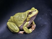 Frog, Macro, Amphibian, Green Royalty Free Stock Photos