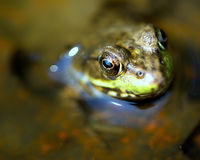 Frog Macro Eye Detail. A macro shot of a frog in the water with focus on eye detail Royalty Free Stock Image