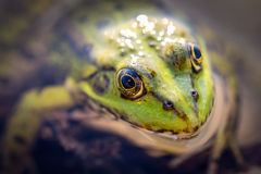 Frog macro. Green frog sitting in the water, close-up photography Royalty Free Stock Photos