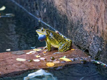 Frog making mating call. It is the mating season for frogs and a frog is making a mating call Royalty Free Stock Photos
