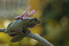 Frog and mantis. Conceptual mantis on head frog Stock Photo