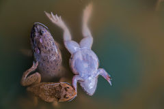 Frog. Many frogs are found in a pond in a frog farm in Thailand Stock Photos