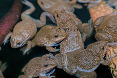 Frog. Many frogs are found in a pond in a frog farm in Thailand Stock Photography