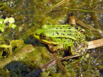 Frog in marsh Stock Photography