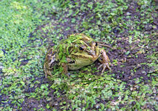 Frog in marsh Royalty Free Stock Photography