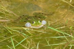 Frog frog. Mating season. End of May. A small pond in an old dolomite dolomite near Tarnowskie Góry. South Poland. Europe stock images