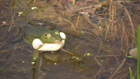 Frog in mating season stock footage