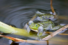 Frog in mating time. Royalty Free Stock Photography
