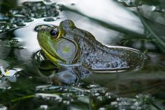 Frog peeks up from pond stock photo