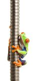 Frog on metal spiral isolated. Frog on metal spiral - a red-eyed tree frog (Agalychnis callidryas) closeup isolated on white Royalty Free Stock Photo