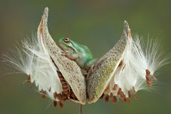 Frog on milkweed pods Royalty Free Stock Photo