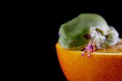 Frog and miniature girl. White`s tree frog Litoria caerulea sleep beside miniature girl on pink dress.They are on fresh orange stock photography