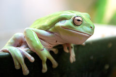 Frog from Moscow Zoo stock photos