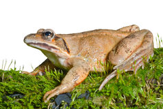 Frog on moss 13 Stock Photos