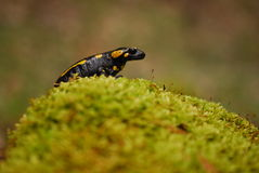 Frog on moss. A small black and yellow frog sitting on moss Stock Photo
