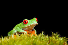Frog on moss isolated black Royalty Free Stock Photography