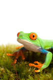 Frog on moss isolated white Royalty Free Stock Photo