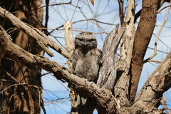 Frog Mouth Tawny Owl - I have your back Stock Image