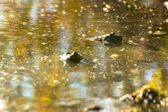 Frog in a muddy pond Stock Images