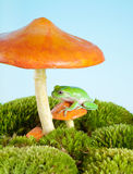 Frog on mushroom. White-lipped tree frog on a toadstool or mushroom royalty free stock photography