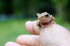 Frog in my hand Stock Images