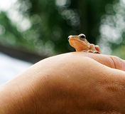 Frog in my hand Royalty Free Stock Photos