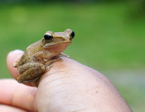 Frog in my hand Stock Image