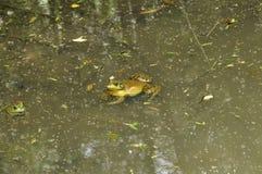 Frog N. American Bull , (Rana catesbeiana) Royalty Free Stock Images