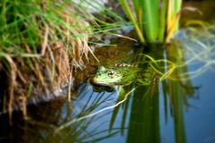 Frog in a natural environment Stock Image