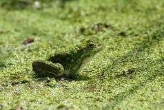 Frog in natural habitat Stock Photo