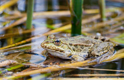 Frog in natural habitat Stock Photos