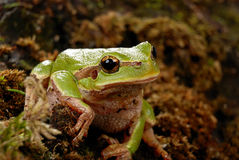 Frog in a natural habitat Stock Image