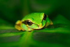 Frog in nature habitat. Masked Smilisca, Smilisca phaeota, exotic tropic green frog from Costa Rica, close-up portrait. Animal sit Stock Images