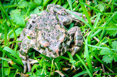 Frog nature macro Stock Images