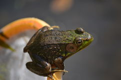Frog on net. Being released back to pond Stock Photography