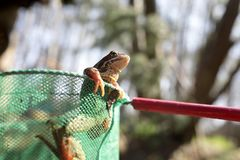 Frog in net. View of a frog in the net Stock Photo