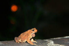Frog At Nighttime. Single frog sitting on the rock at night Royalty Free Stock Photo