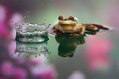 Frog observing crown splash Stock Image