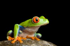 Frog On A Rock Stock Images